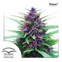 Shaman (Dutch Passion) feminized