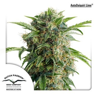 Auto Daiquiri Lime (Dutch Passion) feminized