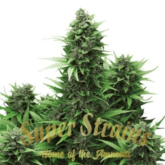 Turing Autoflowering (Super Strains) feminized