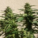 Missile 33 SuperAuto (Flash Auto Seeds) feminized