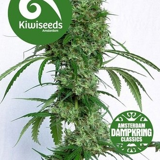 Ocean's Twelve Haze (Kiwi Seeds) feminized