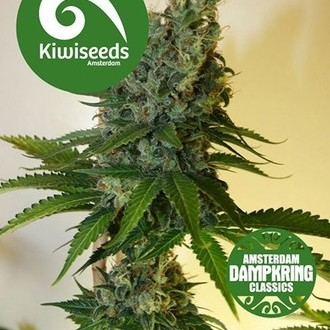 Congo Haze (Kiwi Seeds) feminized