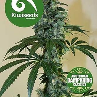G13 x Amnesia Haze (Kiwi Seeds) feminized