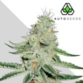 Dreamberry (Auto Seeds) feminized