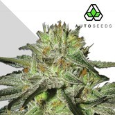 Kush Doctor (Auto Seeds) feminized