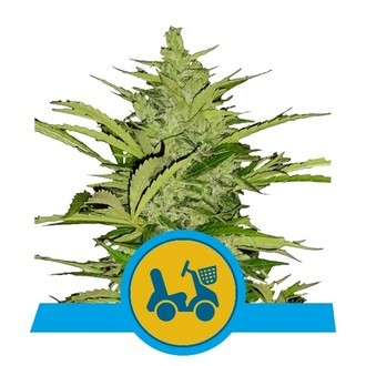 Fast Eddy Automatic (Royal Queen Seeds) feminized