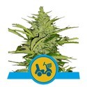 Fast Eddy (Royal Queen Seeds) feminized