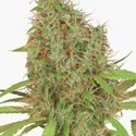 Dutch Haze (Dutch Passion) gefeminiseerd
