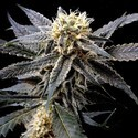 Strawberry Banana (Reserva Privada) feminized
