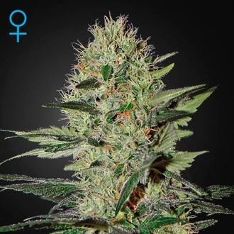 Exodus Cheese Autoflowering (Greenhouse Seeds) feminized