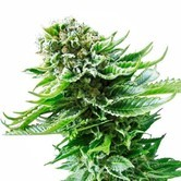 Northern Lights Automatic (White Label) feminized