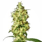 White Widow Automatic (White Label) feminized