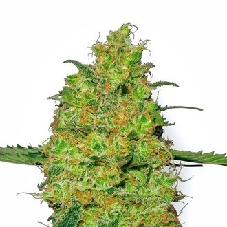 Master Kush (White Label) feminized