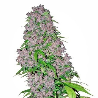 Purple Bud (White Label) feminized