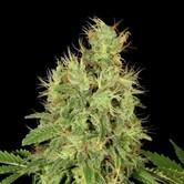 CBD-Chronic (Serious Seeds)