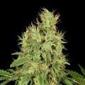 CBD-Chronic (Serious Seeds) feminized
