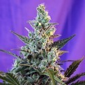 Sweet Skunk - F1 Fast Version (Sweet Seeds) feminized