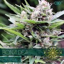 Bona Dea CBD (Vision Seeds) feminized