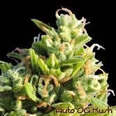 Auto OG Kush (Original Sensible Seeds) feminized