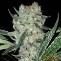 Juanita (Original Sensible Seeds) feminized
