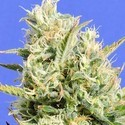 CBD Lemon Aid (Original Sensible Seeds) feminized