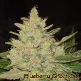 Blueberry Ghost OG (Original Sensible Seeds) feminisiert
