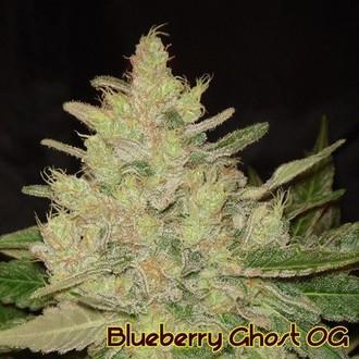 Blueberry Ghost OG (Original Sensible) feminized