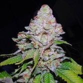 White Berry (VIP Seeds) feminized