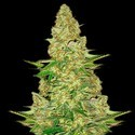 Power VIP (VIP Seeds) feminized