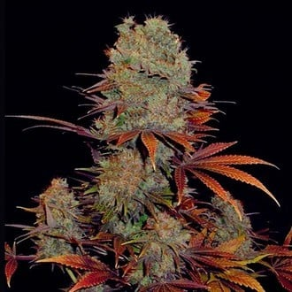 Landysh (VIP Seeds) feminized