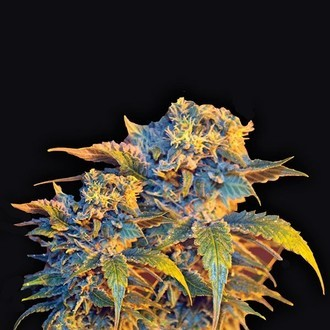 Colombian Sweet (VIP Seeds) feminized