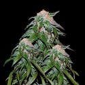 Medical VIP (VIP Seeds) feminized