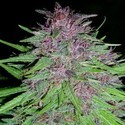 Erdpurt (ACE Seeds) feminized
