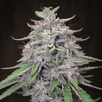 Bangi Haze (ACE Seeds) feminized
