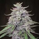 Bangi Haze (ACE Seeds) feminized