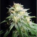 White Widow Automatic (Spliff Seeds) feminized