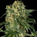 Big Kush (Dinafem) feminized