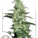 Skywalker (Dutch Passion) feminized