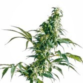 Mexican Sativa (Sensi Seeds) regular/feminized