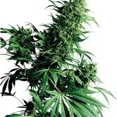 Shiva Shanti (Sensi Seeds) regular