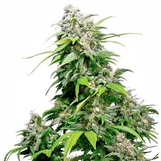 California Indica (Sensi Seeds) regular/feminized