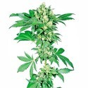 Afghani 1 (Sensi Seeds) regular/feminized