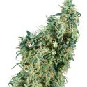 First Lady (Sensi Seeds) regular