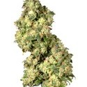 Ultra Skunk (Dutch Passion) feminized