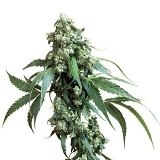 Jack Flash (Sensi Seeds) regular