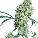 Ed Rosenthal Super Bud (Sensi Seeds) regular