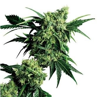 Mr. Nice G13 x Hash Plant (Sensi Seeds) regular