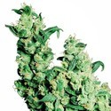 Jack Herer (Sensi Seeds) regular/feminized