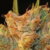 MK-Ultra Kush x Bubble (T.H. Seeds) feminisiert