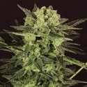 AUTO MK-Ultra® Kush (T.H. Seeds) feminized